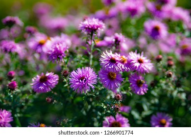 Perennial Astra Violet Queen. Background photo of purple Aster with bokeh