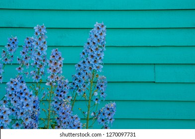 Perennial blue delphinium flowers grow beside a teal house with horizontal siding