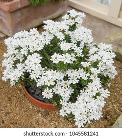 Perennial or Evergreen Candytuft (Iberis sempervirens) Growing in a Greenhouse at Rosemoor in Rural Devon, England, UK