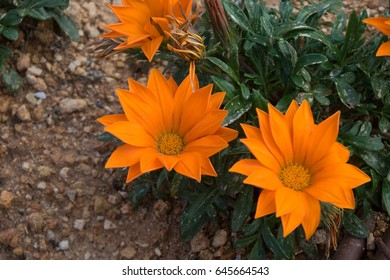 Perennial Gazania flowers with orange petals planted in the rocky earth of Malta