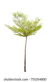 Perennial green, hardwood, ornamental