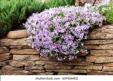 Perennial ground cover blooming plant. Creeping phlox - Phlox subulata or moss phlox on the alpine flowerbed. Selective focus.