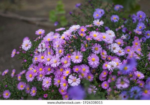 perennial-lilac-dwarf-aster-symphyotrich