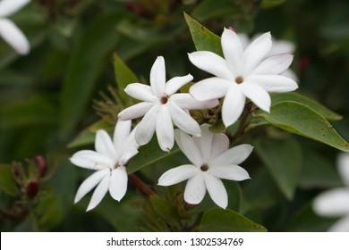 Perennial phlox or Phlox paniculata