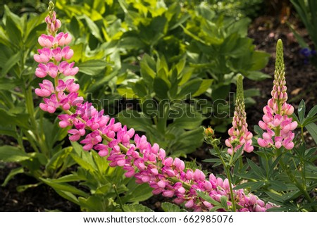 Perennial Pink Flowers Growing On Stalk Stock Photo Edit Now