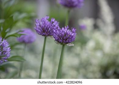 Perennial Plant - Allium