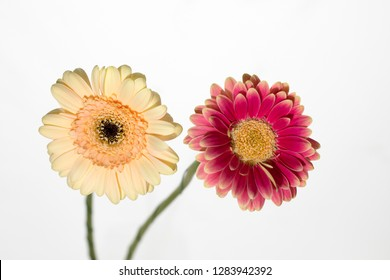 Perennial plant flower gerbera light yellow color. Perennial plant flower gerbera cherry and pink color petals and with a yellow seed.