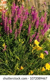 Perennial Plants like Purpel Loosestrife in a flowerbed.