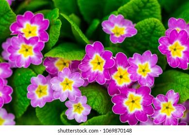 Perennial primrose or primula in the spring garden. Primroses in spring. The beautiful colors primrose flowers garden.