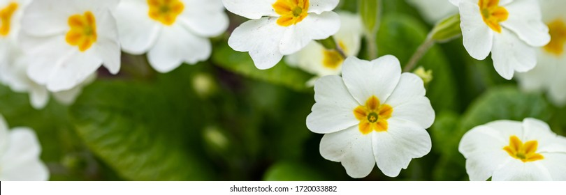 Perennial primrose or primula in the spring garden. Spring primroses flowers, primula polyanthus, white primroses in spring woods. Beautiful colors of primrose in the garden. Nature background