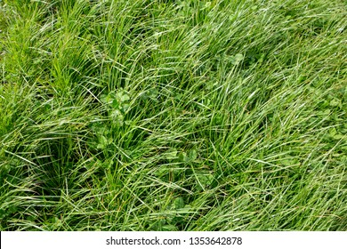 Perennial ryegrass and large leafed white clover grown by farmers for pasture, hay and stock feed in New Zealand