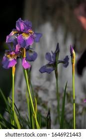 "Perennial wild Siberian iris flower ""Iris sibirica Caesar's Brother"""