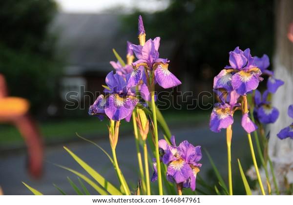 perennial-wild-siberian-iris-flower-600w