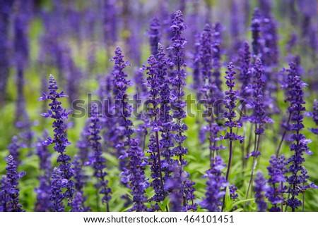 Perennials small purple garden flowers salvia stock photo edit now perennials small purple garden flowers salvia mightylinksfo