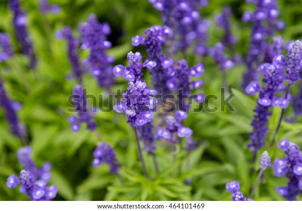 Perennials Small Purple Garden Flowers Salvia Stock Photo Edit