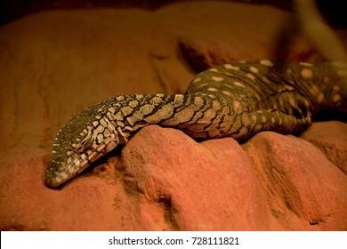 Perentie, Varanus Giganteus, known as Australia's largest lizard capable of eating small macropods