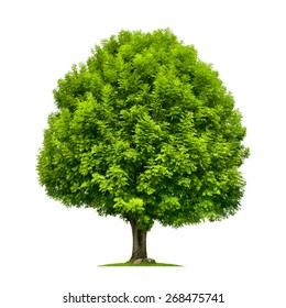 Perfect ash tree with lush green foliage and nice shape isolated on pure white background