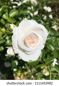 Perfect and delicate rose