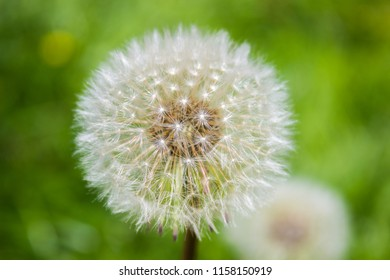 Perfect detail of blowball, dandelion