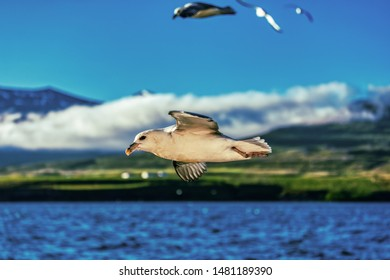 perfect detailed shot of a flying seagull over blue ocean on iceland, summer