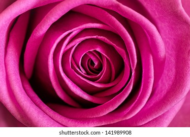 A perfect english dusky pink rose in exquisite detail