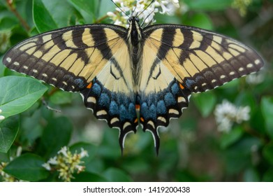 Perfect example of mimicry on the back of a yellow black orange and blue butterfly