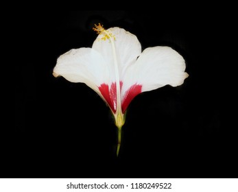 Parts Of A Hibiscus Flower Images Stock Photos Vectors Shutterstock