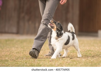 perfect footwork with a obedient Jack Russell Terrier dog