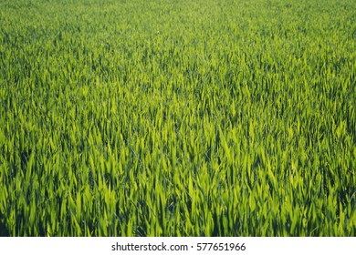 Perfect green background of the fresh grass field