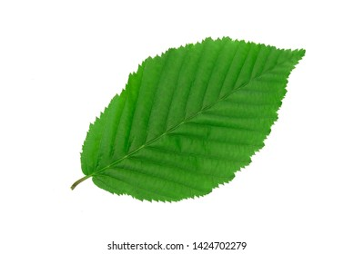 Perfect green hornbeam leaf isolated on white background without shadows in close-up (high details).