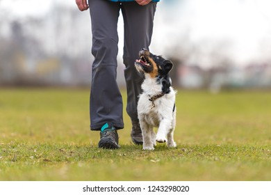 perfect heelwork with a obedient Jack Russell Terrier dog. Sport training and education