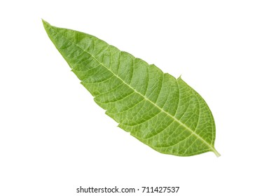 Perfect Lemon Verbena Leaf Isolated on White Background in Full Depth of Field with Clipping Path.