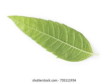 Perfect Lemon Verbena Leaf Isolated on White Background.