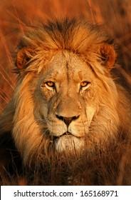 Perfect Lion