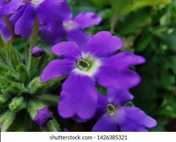 Perfect little purple Lanai flower