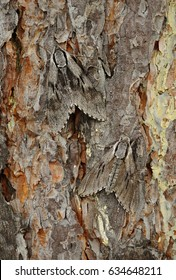 Perfect mimicry, pine hawk-moth (Sphinx pinastri)