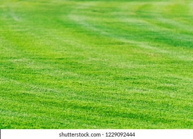 Perfect mowed green grass lawn background. Golf course playground in Dubai. Cut grass filed texture.
