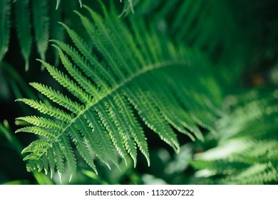 Perfect natural fern leaves pattern. Beautiful background made with young green fern leaves. Color of kale.