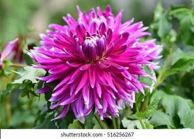 perfect natural purple dahlia with green background