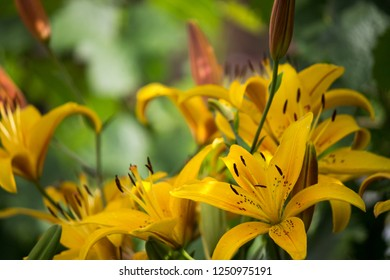 Perfect orange and yellow lilies in color