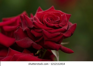 Perfect red rose. Dew drops on a rose. Rose on a dark background