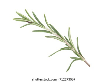 Perfect Rosemary Isolated on White Background in Full Depth of Field with Clipping Path.