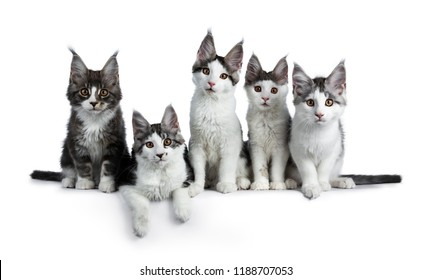 Perfect row of five blue / black tabby high white Maine Coon cat kittens sitting / laying and looking at camera, isolated on white background