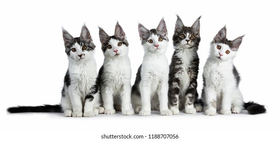 Perfect row of five blue / black tabby high white Maine Coon cat kittens sitting up and looking at camera, isolated on white background