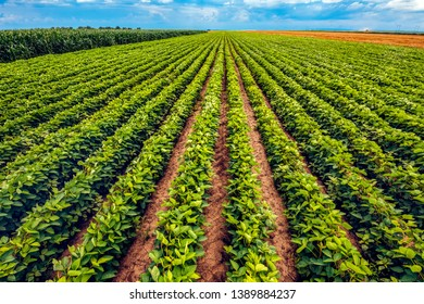 Perfect soybean field. Cultivated soya bean plantation without weed is growing and ripening.