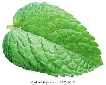 Perfect spearmint leaf or mint leaf isolated on white background.