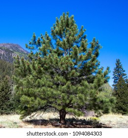 Perfect specimen pine tree found along the road to Creede, Colorado, in the Rocky Mountains