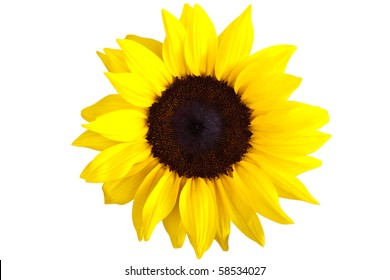 Perfect Sunflower, completely isolated on white background