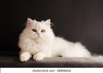 Perfect white cat