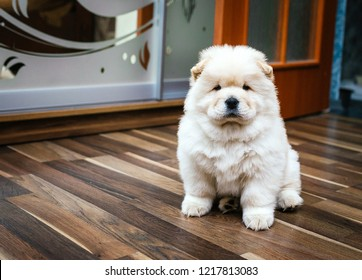 Perfect white chow-chow
